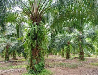 วช. ลงพื้นที่ช่วยเกษตรกร ชาวสวนปาล์มกำจัดโรคโคนเน่าในต้นปาล์มน้ำมัน